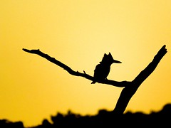Two of my favourite things - a Kingfisher and a sunrise. (Ilana Uys) Tags: pied kingfisher silhouette sunrise warm light mabalingwe nature birding branch southafrica