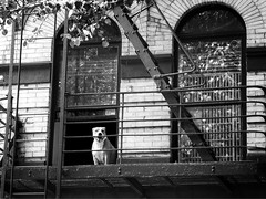 (Goggla) Tags: nyc new york lower east side les fire escape window dog bw fireescape