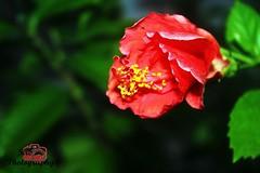 #Amapola #SircPhotography #PR (Sirc Photography) Tags: amapola sircphotography pr