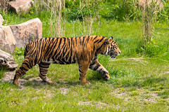 Sumatran Tiger (Gareth Christian) Tags: camera chesterzoo d750 nikon pantheratigrissumatrae sumatrantiger