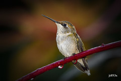 Ruby-throated Hummingbird (jt893x) Tags: 150600mm archilochuscolubris bird d500 hummingbird jt893x nikon nikond500 rubythroatedhummingbird sigma sigma150600mmf563dgoshsms specanimal