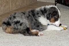Izzy (thegreatlandoni) Tags: puppy dog sheperd izzy miniatureaustralianshepherd indoor dscf7148 pet paws sheridan wyoming daughter family