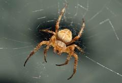 European garden spider (peeteninge) Tags: spider spinnen spiders spin nature natuur animal animals dieren outdoor