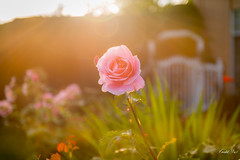 Blooming   (T.ye) Tags: rose flowers bokeh lighting light sun sunset plant flower mood atmosphere todd ye outside ourdoor