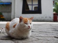 Norbulingka cat (claying) Tags: olympus em5 tibet china lhasa    panasonic lumixgxvario1235mmf28asphpowerois norbulingka  cat
