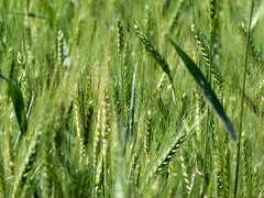 (IgorCamacho) Tags: trigo wheat crop plantao camp field suldobrasil paran southern brasil brazil agricultura agriculture natureza nature macro