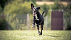 Leif on the run ( - Ralf) Tags: leif dog hund agility wiese outdoor gras rennen
