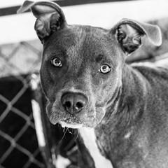 Mei04Sep1600007-Edit.jpg (fredstrobel) Tags: dogs pawsatanta phototype atlanta blackandwhite usa animals ga pets places pawsdogs decatur georgia unitedstates us