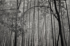 In a whisper (Loscar Numael) Tags: bamboo japan kyoto blackandwhite blancoynegro zeiss milvus5014 singhray zen decor