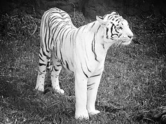 White tiger Lanzarote (Chel_098) Tags: blackandwhite whitetiger tiger