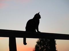 (SofiDofi) Tags: gamlefredrikstad gamlebyen vaterland newhome fall2016 september outdoors surroundings neighborhood iloveithere evening sunset lovelycolors norge norway stfold stlandet cat furry feline sassy cutie silhouette playful