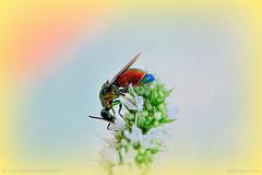Stilbum Cyranum (ironmember) Tags: allaperto insetto vespa metallizzato colore contrasto pdc profonditdicampo menta fiori sfocato bokeh macro micronikkor 85mm d90 nikon madei