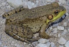 Northern Green Frog (Lithobates clamitans melanota) (marknenadov) Tags: frog green amphibian amphibians frogs herps nature wildlife animals