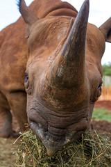 Let Us Live in Peace  - World Rhino Day (Hector16) Tags: giraffemanor kenya karen nairobi davidsheldrickelephantsanctuary ke
