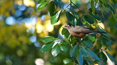 American Robin (mausgabe) Tags: olympus em1 olympusm40150mmf28 olympusmc14teleconverter nyc centralpark theramble bird robin americanrobin berry