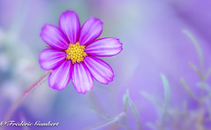 Ambiance Autumn (frederic.gombert) Tags: cosmos flower light sun yellow purple pink green plant garden autumn summer macro nikon d800 sunlight 1001nights