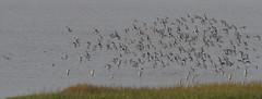 Turn (jump for joy2010) Tags: uk england somerset huntspill riverparrett hightide september 2016 nature wildlife birdwatcing birds blacktailedgodwits limosalimosa flocks inflight waderbirds