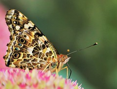 Painted Lady (BreezyWinter) Tags: garden paintedlady september flower pink