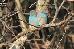 Southern Cordonbleu (Linda Bushman) Tags: namibia uraeginthusangolensis shamvura