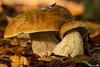 Penny Bun (Boletus edulis) (BraCom (Bram)) Tags: autumn holland fall mushroom canon herfst nederland thenetherlands sigma fungi explore paddestoel boletus noordbrabant pennybun boletusedulis gewooneekhoorntjesbrood wouwseplantage bracom sigma150mmf28exdgapohsmmacro11 canoneos5dmkiii bramvanbroekhoven