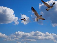 4 Seagulls (Mark Pilar) Tags: new sky seagulls beach nature birds animal clouds outside 1 fly flying random seagull snapshot nj bluesky olympus jersey pointpleasantbeach epl
