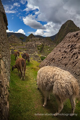 Llamas at Machu Picchu (fesign) Tags: travel summer mountain plant tourism peru southamerica nature inca stone landscape ancient hiking south steps llama nobody ridge journey andes civilization spirituality machupicchu past cloudscape precolumbian incatrail lostcity famousplace placesofinterest internationallandmark theamericas worldsgreatwonders