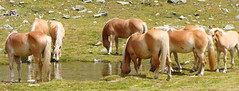Fonte di vita  -  Source of life (Cristina 63) Tags: horses italy nature water animals europa europe italia song prayer natura acqua cavalli animali altoadige southtyrol haflinger sanfrancesco suedtirol preghiera latzfons canzone fantasticnature avelignese lazfons holidays2011 vacanze2011 dolcesentire