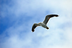 Volare (Wrinzo) Tags: uk sky bird birds scotland europa europe gull uccelli cielo shetland gabbiano seabirds uccello scozia shetlandislands isoleshetland ucciellimarini