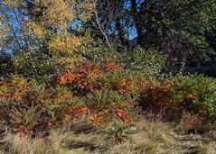 Sumac in fall colours (tiredyda) Tags: sumac