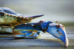 Blue Crab 01 ([ war horse ]) Tags: macro crab hss top20blue