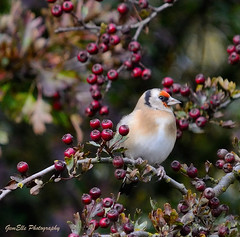 Goldfinch and berries (GemElle Photography) Tags: red tree bird berry nikon berries goldfinch beak feathers hawthorn gemelle sigma150500 d3100 gemelle1