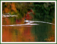 Swimming back into the color!~EXPLORE #353 (clickclique) Tags: red orange canada color green fall swimming reflections duck pond wake nb explore newbrunswick curve explored travelpilgrems sterosette
