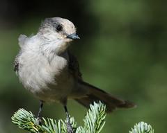 Whiskey Jack (J Bespoy Photography) Tags: wild portrait canada cute bird closeup pine grey branch jay bc britishcolumbia gray perched cascademountains tc14eii whiskeyjack allrightsreserved specanimal d300s nikkor70200f28vrii blinkagain
