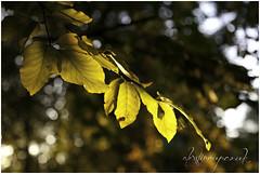 Sefton Park | Leaves (AlexStirrup) Tags: park autumn light england sun sunlight alex nature leaves liverpool canon leaf dof natural northwest bokeh south north lovely seaons stirrup 24105 sefton