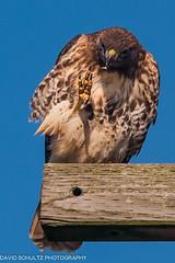 "Red-tailed Hawk ""Buteo jamaicensis (dschultz742) Tags: bird nikon sigma raptor redtailedhawk buteojamaicensis nikonians nikonsigma d700 edisonwa da"