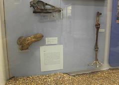 Dodo Head & Leg HMG (Rare Rupert) Tags: bird museum skeleton foot scotland head glasgow leg cast bones dodo extinct zoology hunterian