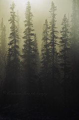 Forest (ContessaNera) Tags: trees sun snow fog alaska forest haze woods coldfoot