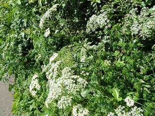 Flourishing umbellifer (P1130357)
