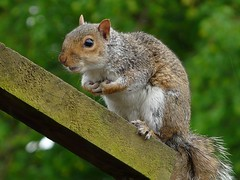Grey Squirrel (velton) Tags: uk tree grey scotland squirrel rat wildlife nuts scottish explore kilmarnock ayrshire dundonald velton