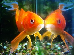 (rafalweb (moved)) Tags: orange brown fish color reflection green water face canon reflex eyes rocks goldfish symmetry powershot fishtank g12 photoscape