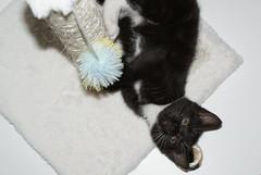 cat (Stephen_Holt) Tags: white black cute cat blackcat fur golden eyes kitten ears trixie scratchingpost