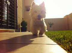 Kyra en el jardín (Ariel84) Tags: blanco perro highland cachorro westy mascota perrito westies uploaded:by=flickrmobile flickriosapp:filter=nofilter