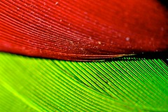 Parrot Feather Red Green (donjuanmon) Tags: red macro green feather parrot hmm bellows redlored donjuanmon vibrantminimalism