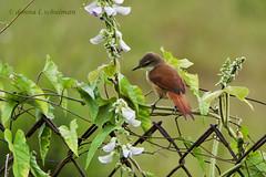Trinidad: Yellow-chinned Spinetail (donna lynn) Tags: red nature birds trinidad 2012 yellowchinnedspinetail certhiaxiscinnamomea cinnamomeus spinetail certhiaxiscinnamomeus nikond7000