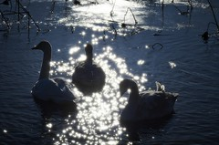 Natural shine (K16mix) Tags: winter lake nature japan landscape swan asia lotus swamp     miyagi tohoku  touhoku    izunuma     ramsarconvention tomeshi  kuriharashi