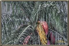 0033 Something New (Mark Morgan Trinidad A) Tags: pod photoshopped palm seeds 74 hdr 0033 banga acrocomia grugru newseeds 113picturesin2013 somethngnew trinidadflora