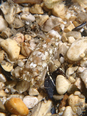 Philocheras sp (Centro Sub Monte Conero) Tags: mar mediterraneo mare centro muck conero numana nord sabbia adriatico sirolo gambero benthos gamberetto crostaceo philocheras