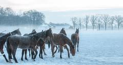 DSC_1263.jpg (Ingeborg Ruyken) Tags: morning winter horses snow frost sneeuw january januari ochtend paarden naturephotography vorst natuurgebied landgoed natuurfotografie 2013 wamberg bigmammals