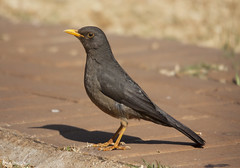 Melro macho, Common Blackbird, male(Turdus merula) - em Liberdade[WildLife] (xanirish (ana & xavier)) Tags: commonblackbird thewonderfulworldofbirds melrofmea femaleturdusmerula