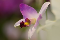 Laelia anceps (nobuflickr) Tags: orchid flower nature japan kyoto laeliaanceps naturesfinest thekyotobotanicalgarden awesomeblossoms   20120204dsc00803
